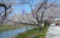 川沿いの桜並木①