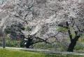 川沿いの桜並木②