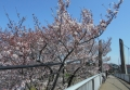 富士下橋にせり出してきた桜