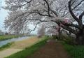 高橋の桜並木①