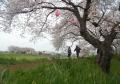 高橋の桜並木②