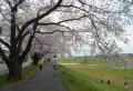 高橋の桜並木③