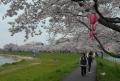 高橋の桜並木④