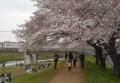 東武東上線と桜②