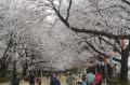 櫻のトンネル