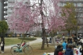 しだれ桜も