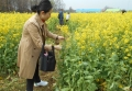 菜の花を摘み取る人