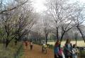 緑道近くの桜
