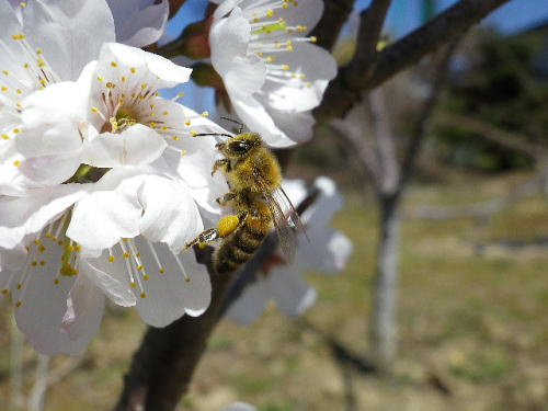 蜜蜂 2016 3 21-1