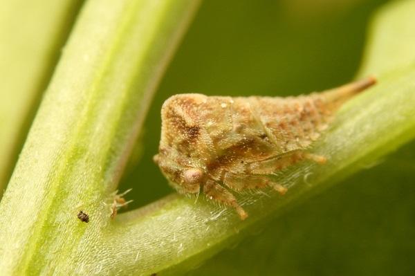 マルツノゼミ幼虫 (2)