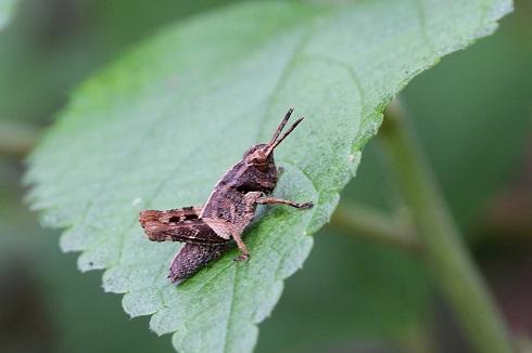 イシガキモリバッタ幼虫b