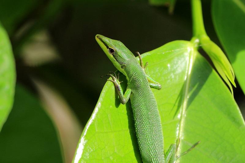 サキシマカナヘビb