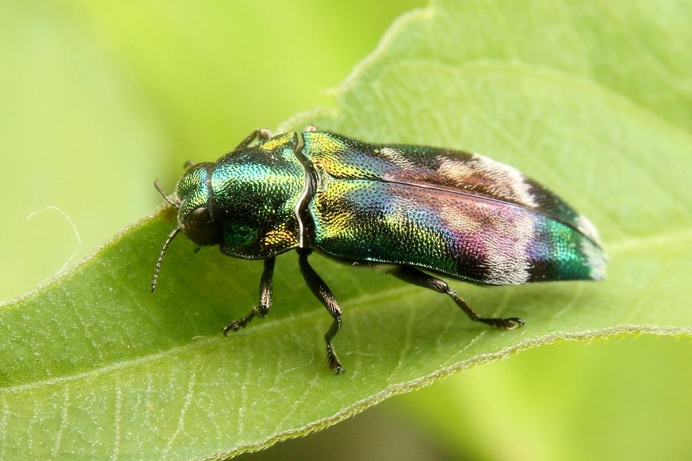 ミドリナガボソタマムシ (3)b