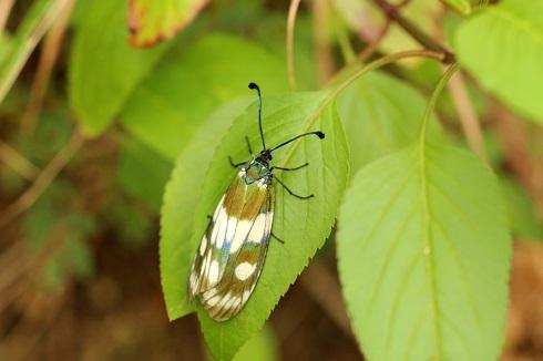 オキナワルリチラシ (1)b