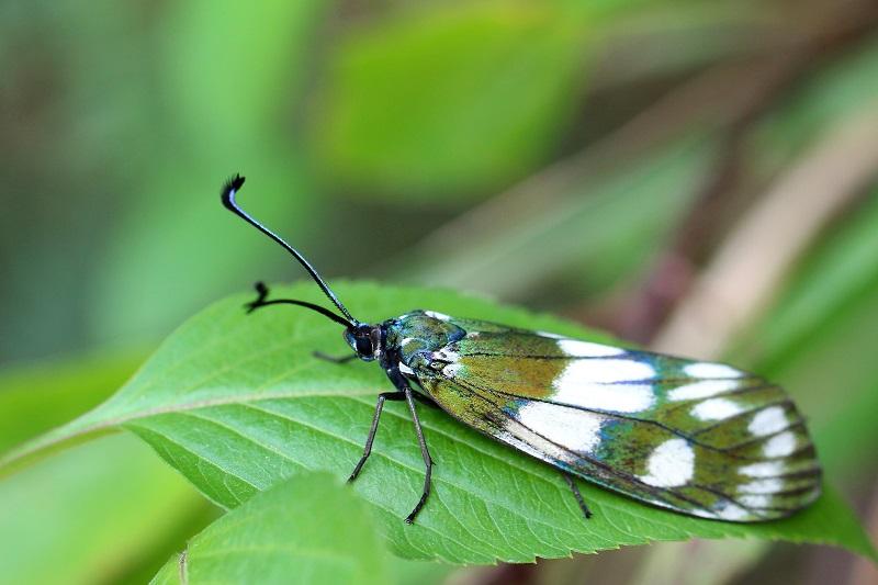 オキナワルリチラシ (2)b