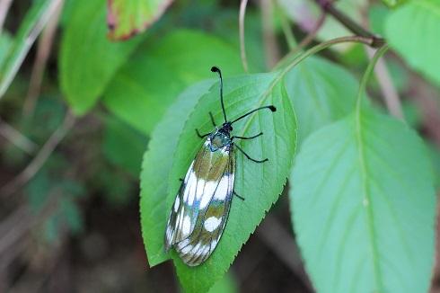 オキナワルリチラシ (3)b