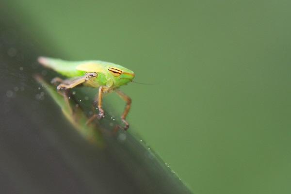 ヨコバイ幼虫b
