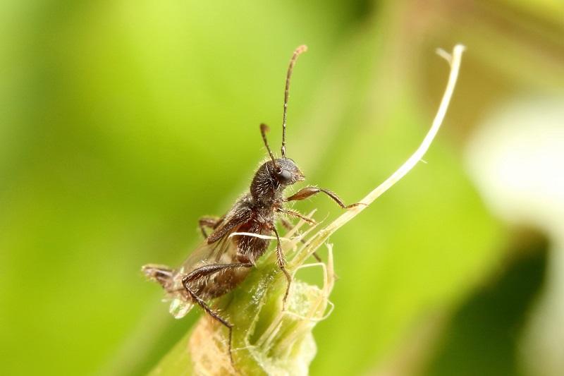 ツヤケシヒゲナガコバネカミキリ (2)b