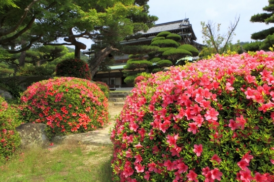 tsutsuji19nn.jpg