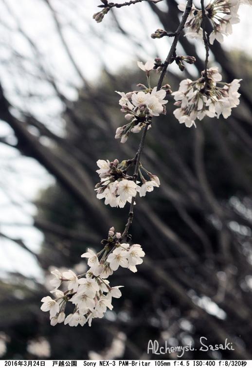 桜DSC07843