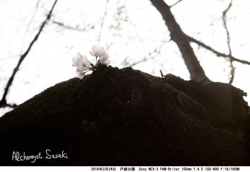 桜DSC07853