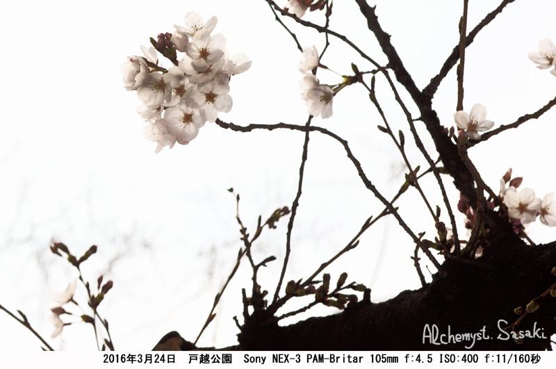 桜DSC07876