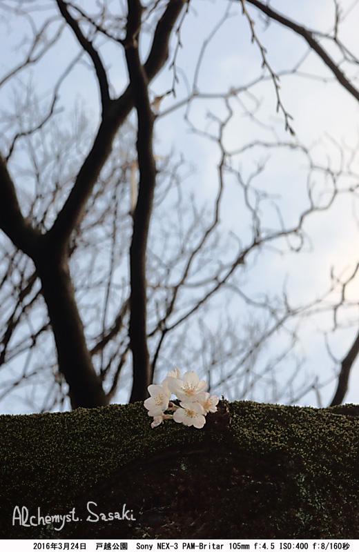 桜DSC07900