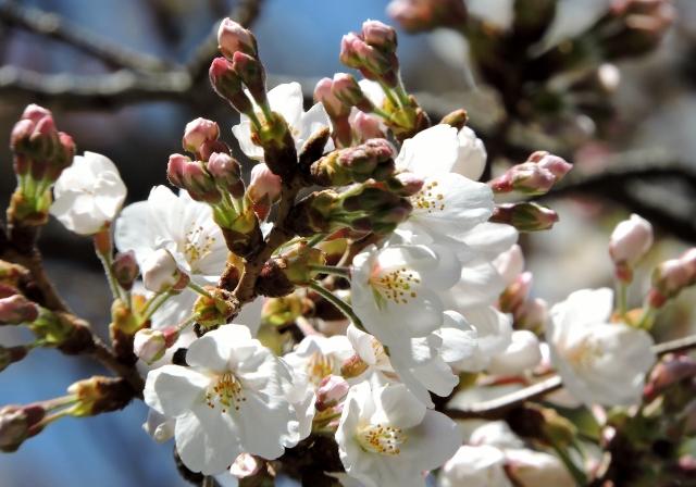 桜2016-03-26 006 (640x448)