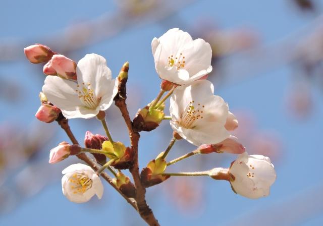 桜2016-03-26 072 (640x448)