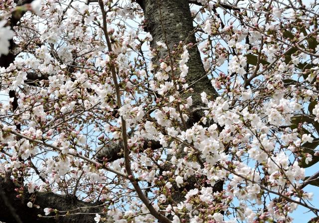 桜2016-03-27 002 (640x448)