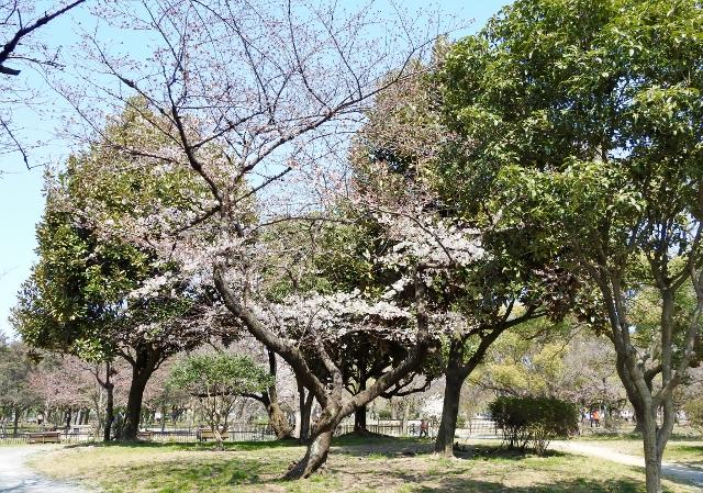 桜2016-03-27 108 (640x449)