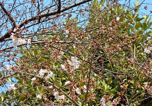 桜2016-03-27 113 (640x449)
