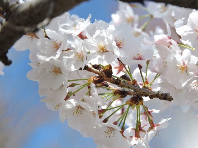 桜2016-04-02 005 (640x480)