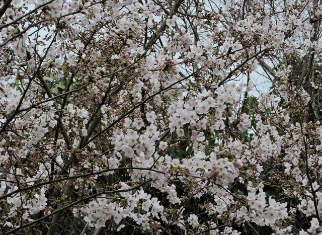 桜2016-04-02 080 (640x467)