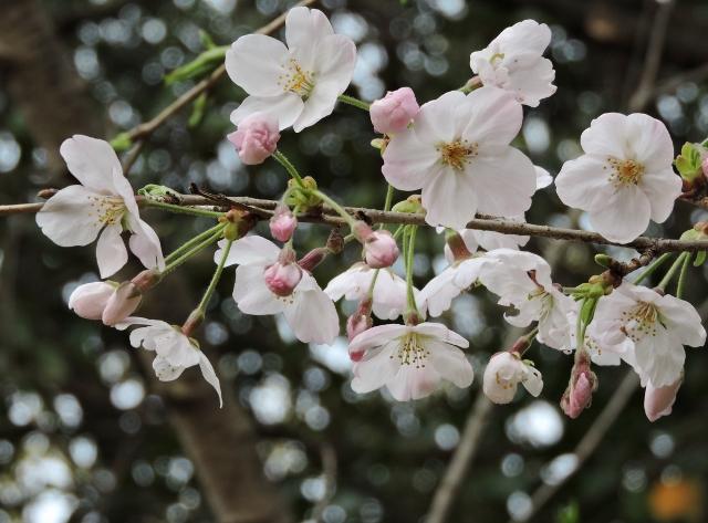 桜2016-04-02 083 (640x473)