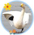 千葉県白鳥情報2015