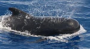 ゴンドウクジラ