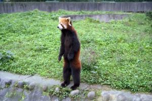 レッドパンダ