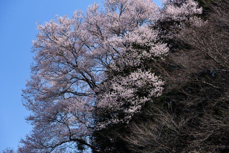 28年佐川町ひょうたん桜-1-1