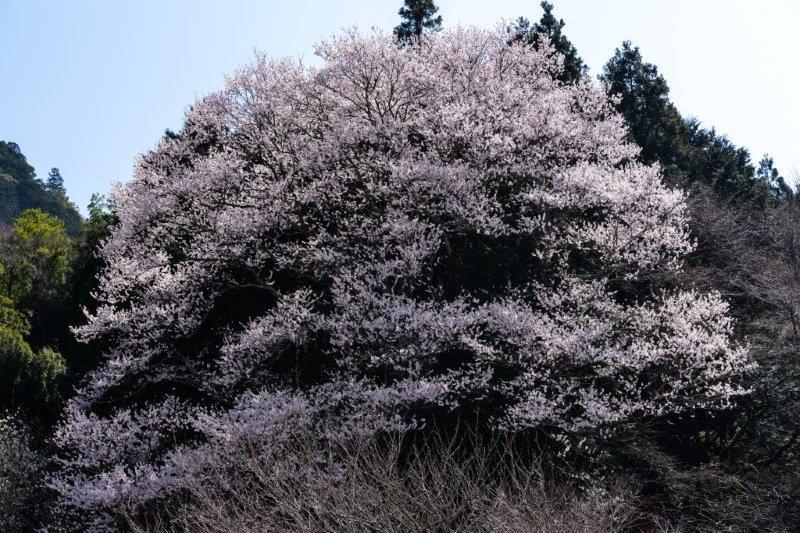 28年佐川町ひょうたん桜-3-1