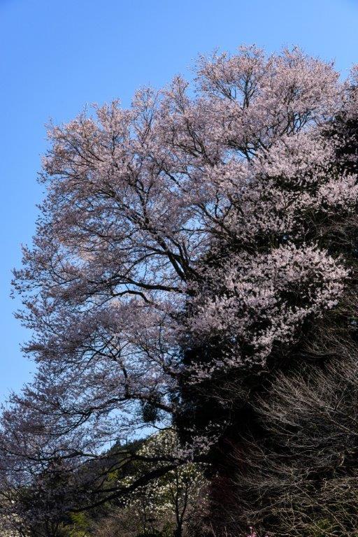 28年佐川町ひょうたん桜-2-1