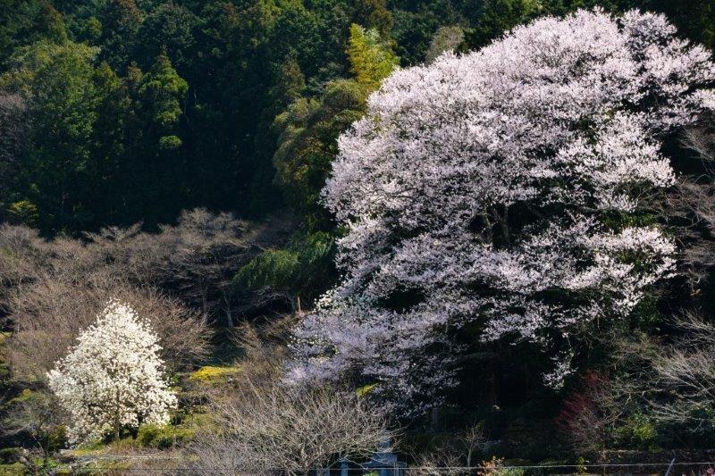 28年佐川町ひょうたん桜-4-1
