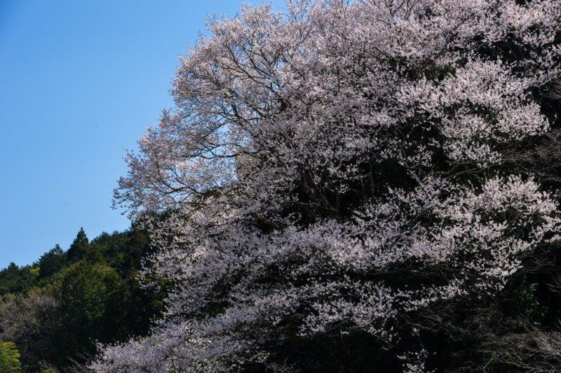 28年佐川町ひょうたん桜-7-1