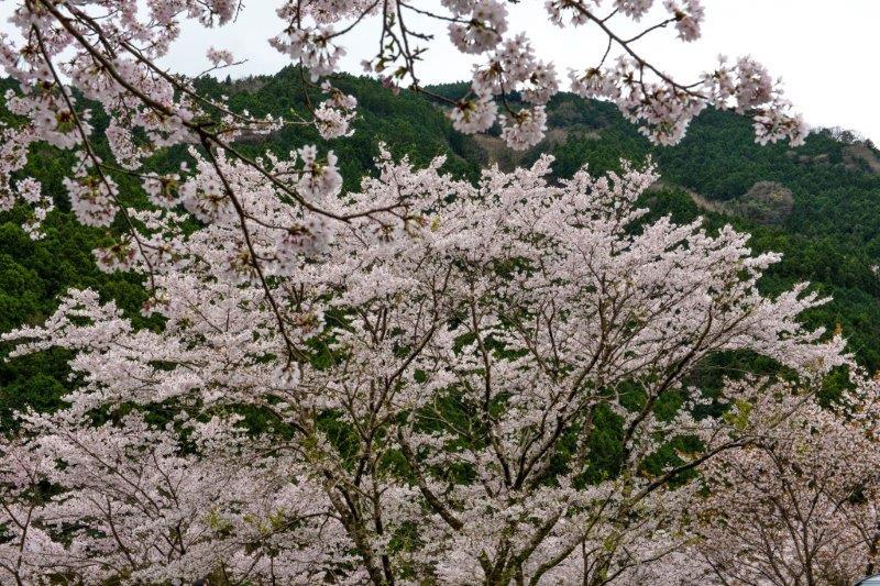 高知の桜ー1-1