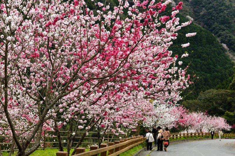 高知の桜ー3-1