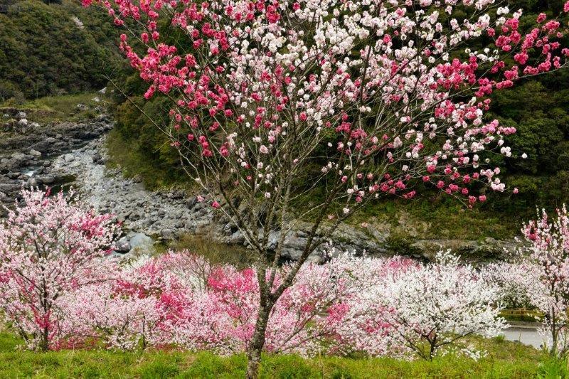 高知の桜ー4-1