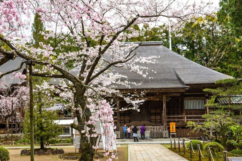 高知の桜ー5-1