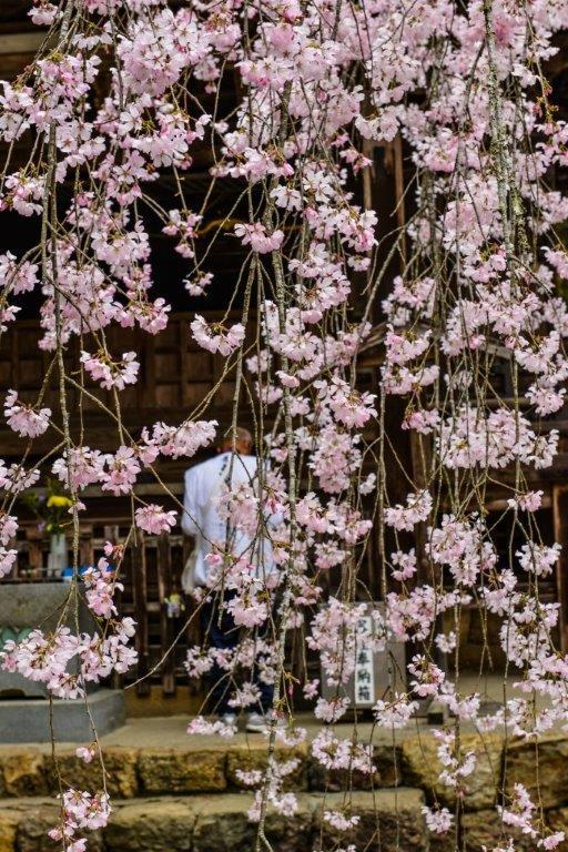 高知の桜ー6-1