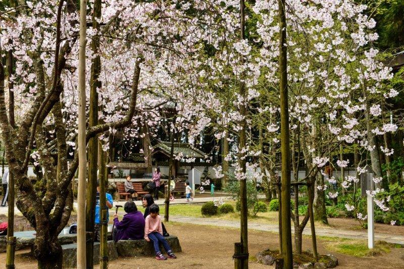 高知の桜ー7-1