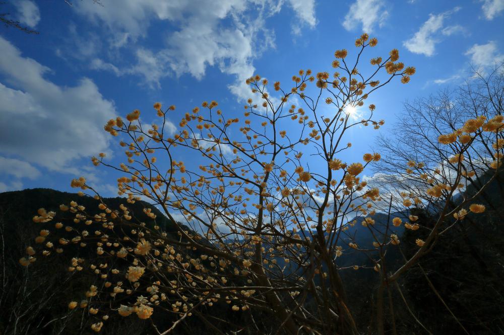青空に咲く黄花(みつまた)